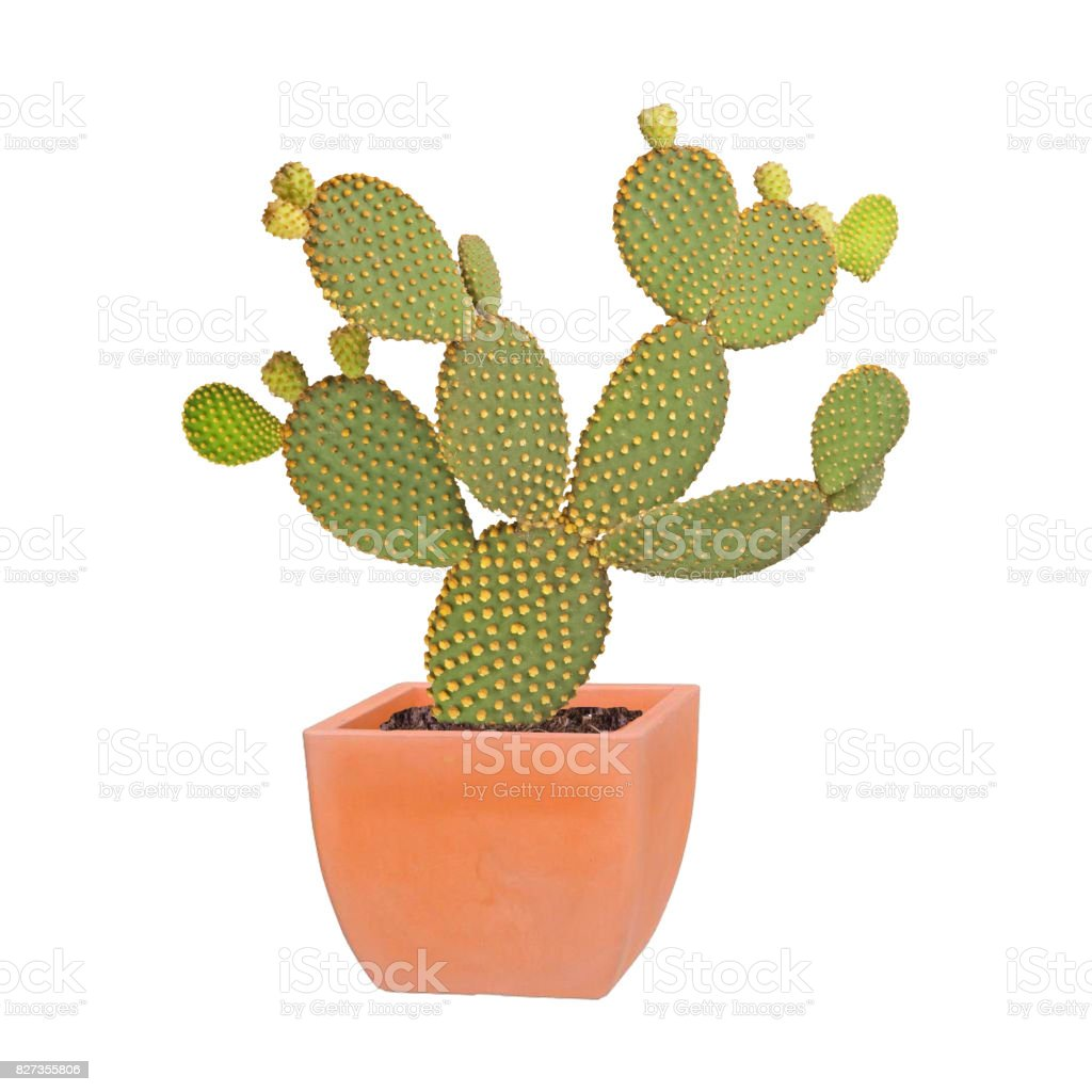Opuntia cactus isolated on white background stock photo