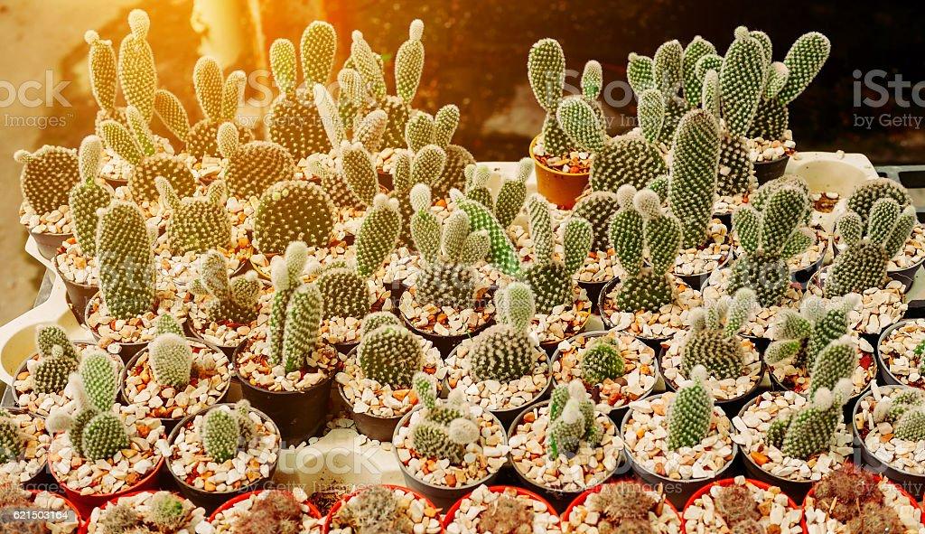 Opuntia Cactus Plant photo libre de droits