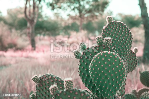 Opuntia Microdasys cactus in prairies landscape background with field grass trees. Beautiful tranquil idyllic nature scene. Vintage film effect pink toned. Soft pastel colors