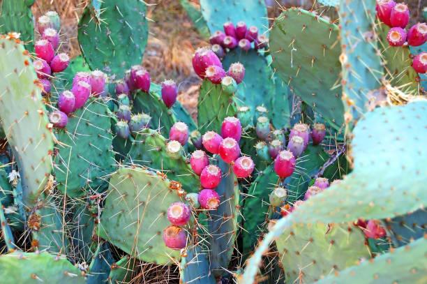 planta de opuntia con fruta - opuntia robusta fotografías e imágenes de stock
