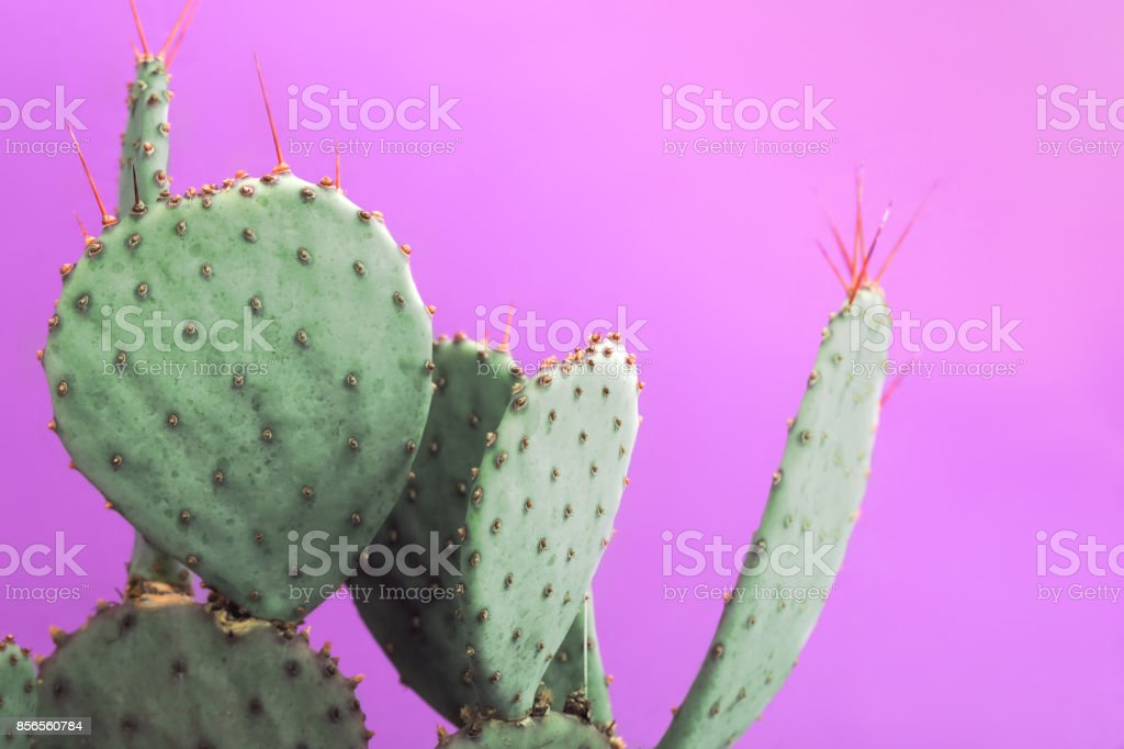 Opuntia Prickly Pear Green Cactus with small sharp thorns. Isolated on pink background. stock photo