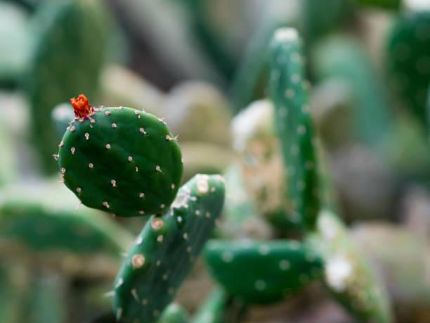 opuntia quitensis, cactus - opuntia robusta fotografías e imágenes de stock