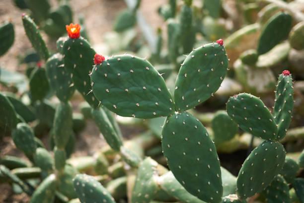 opuntia quitensis - opuntia robusta fotografías e imágenes de stock