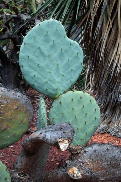opuntia robusta nopal paletas con largas afiladas espinas - opuntia robusta fotografías e imágenes de stock