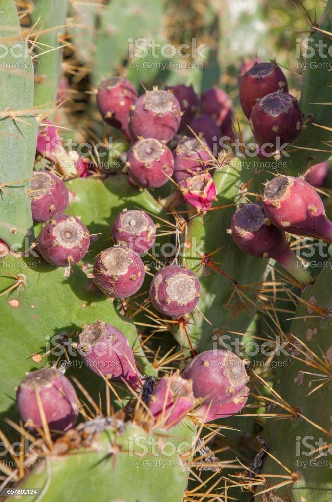 Opuntia stricta cactus purplish-red fruits, El Rompido, Huelva, Spain stock photo