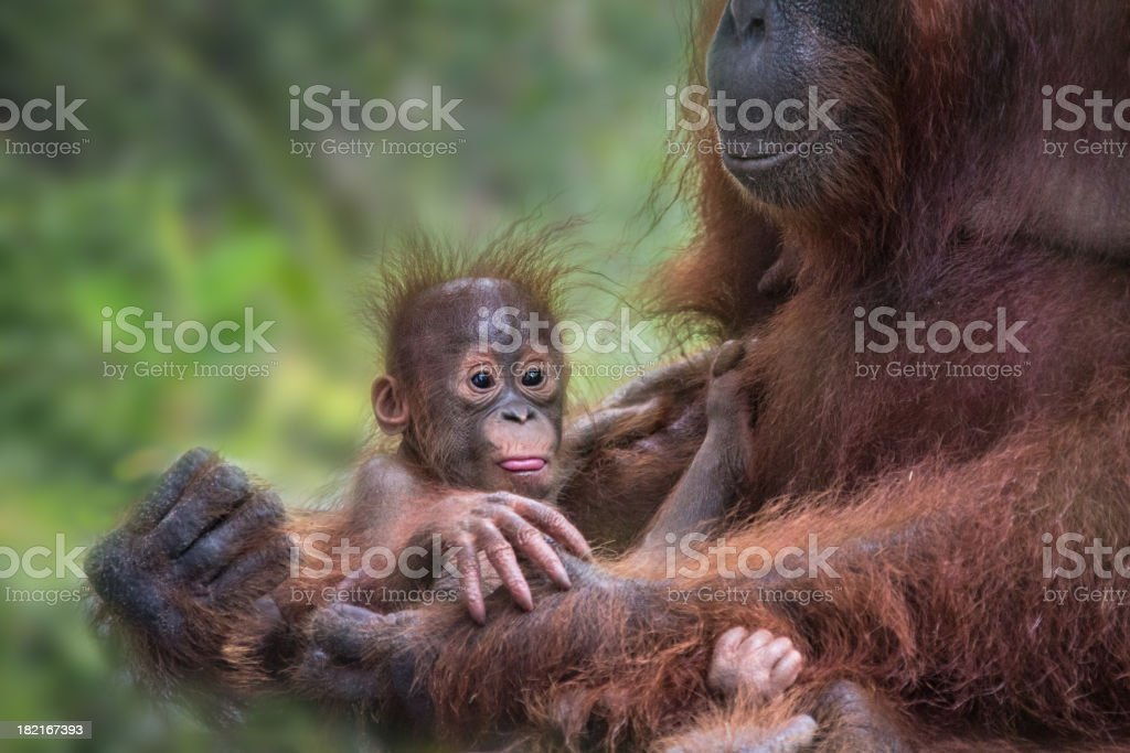 Orang Utan baby in the hands of her mother stock photo