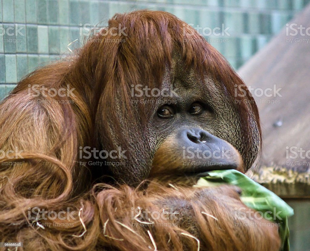 Orang Utan eating royalty-free stock photo
