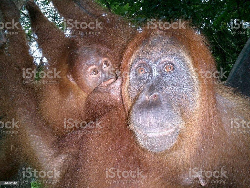 Orang Utan Mother and Daughter royalty-free stock photo