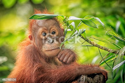 istock Orang Utan 492783124