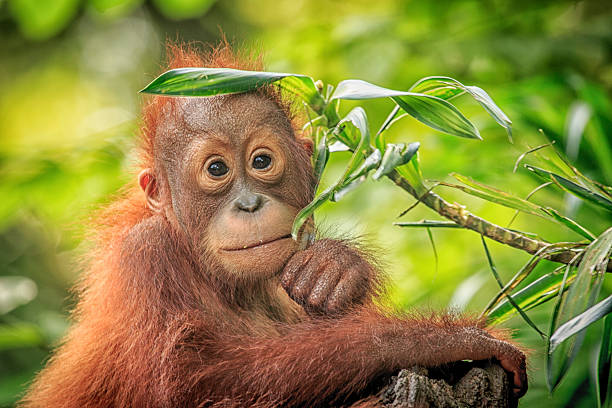 orang outan - jeune animal photos et images de collection