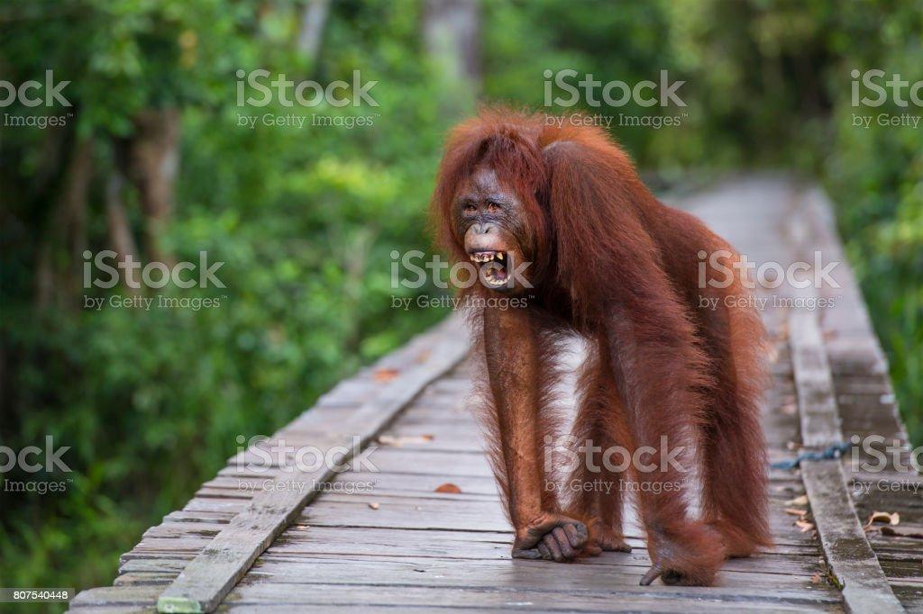 Orang Utan shouting on a jetty, Borneo, wildlife shot stock photo