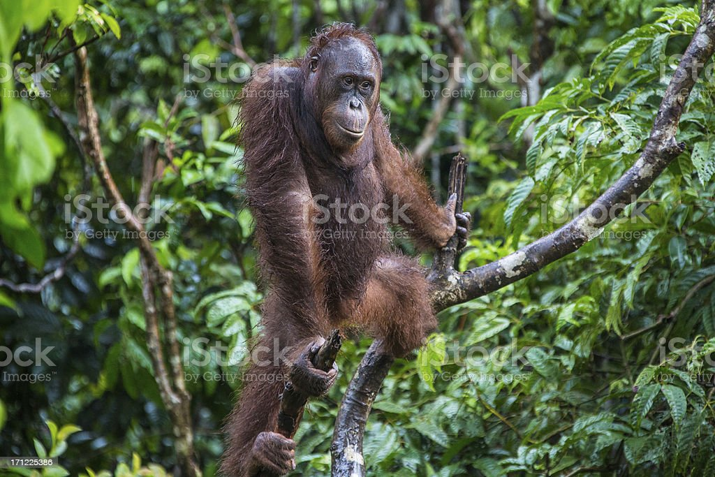 Orang Utan sitting in the tree royalty-free stock photo