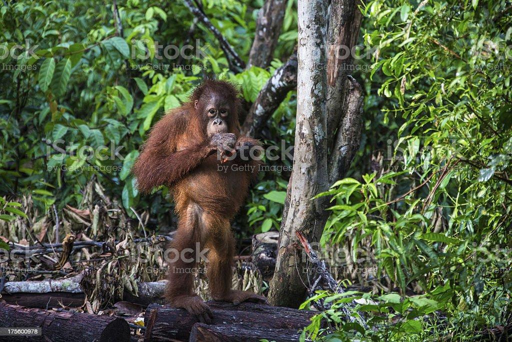 Orang Utan standing on the ground stock photo