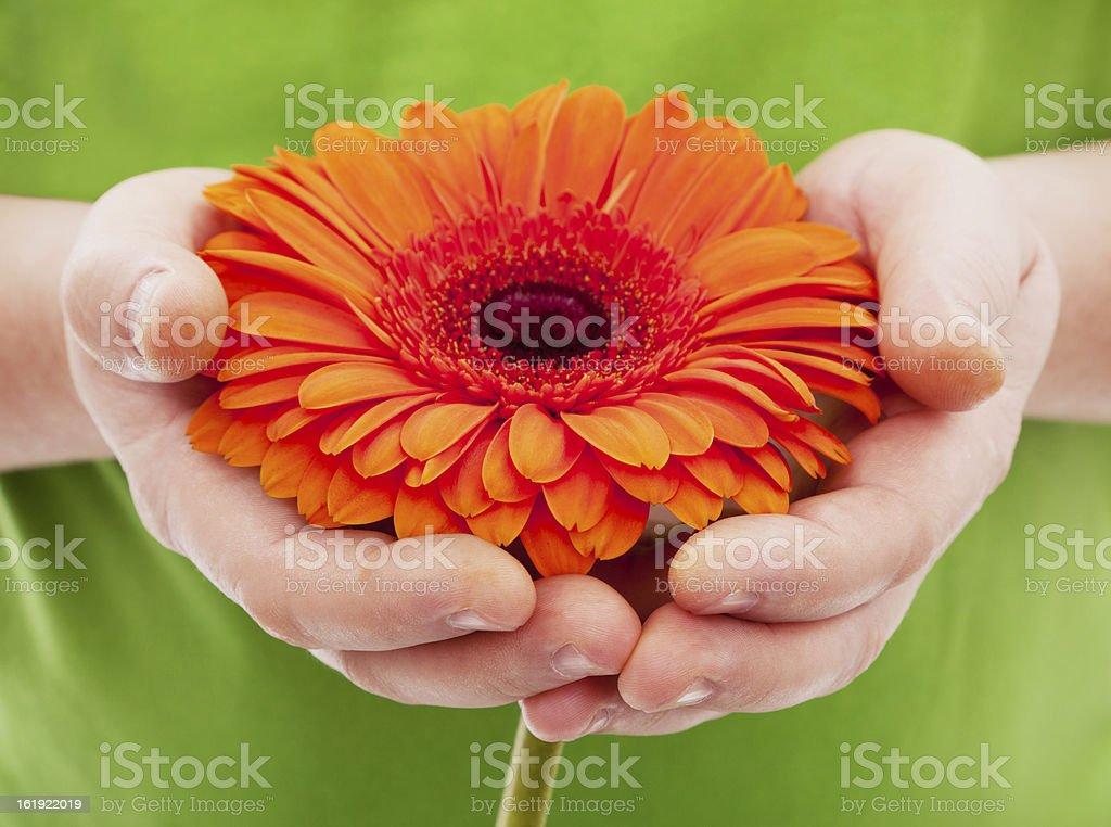 Orange African daisy in man's hands stock photo
