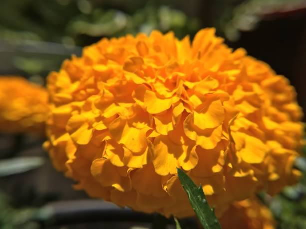 orange african marigold closeup in the garden - san diego, ca samuel howell stock pictures, royalty-free photos & images