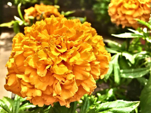 orange african marigolds in the garden - san diego, ca samuel howell stock pictures, royalty-free photos & images
