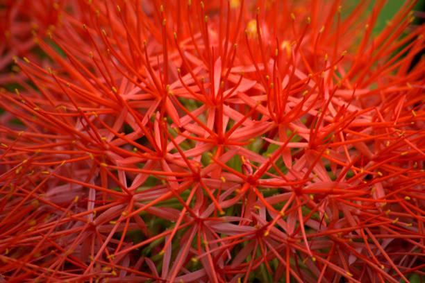 Flores alaranjadas do Agapanthus - foto de acervo