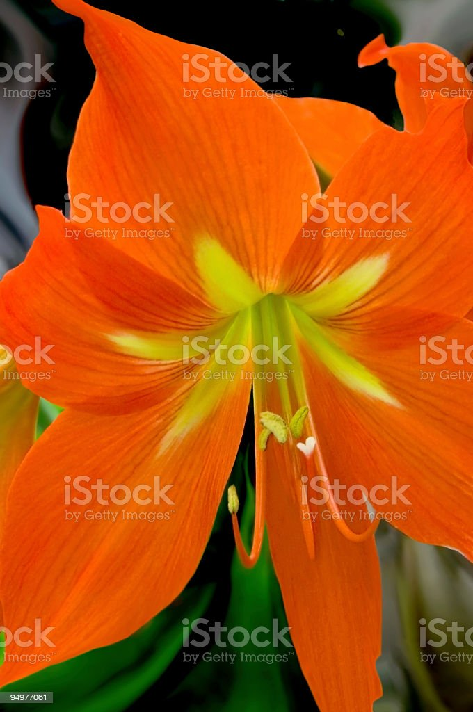 Orange Amaryllis royalty-free stock photo