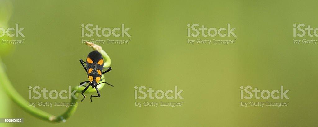 Orange and black beetle royalty-free stock photo
