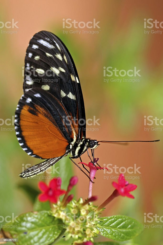 orange and black butterfly - Royalty-free Achterpoot Stockfoto