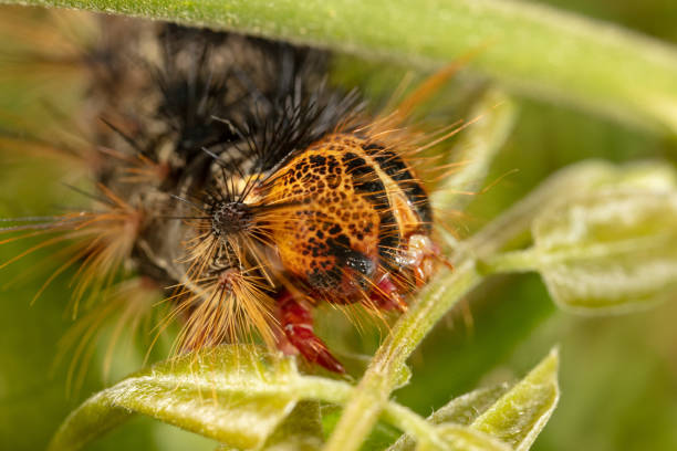 Orange and black Caterpillar of the Gypsy Moth (Lymantria dispar) with big spines on a green leaf stock photo