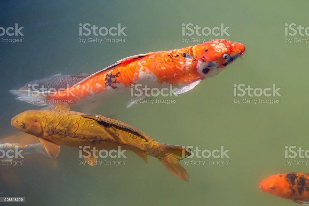 Fotograf a de naranja y negro peces koi nadar contra la for Nadar contra la corriente