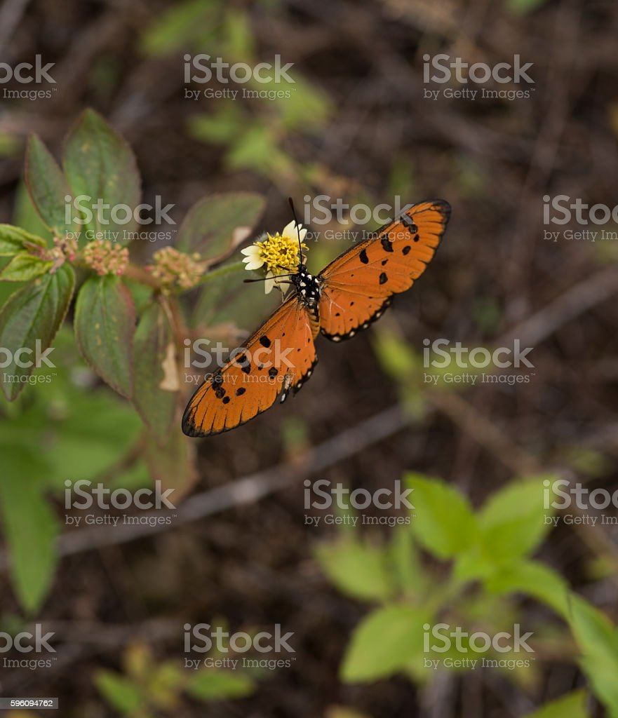 Orange and black spotted butterfly feeding in natural habitat As royalty-free stock photo