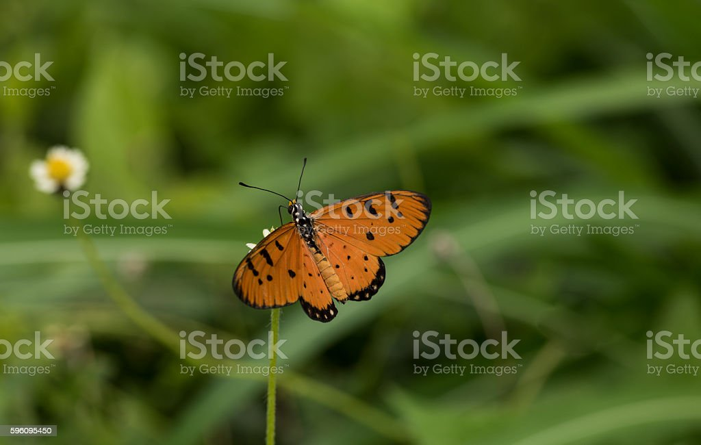 Orange and black spotted butterfly feeding in natural habitat As Lizenzfreies stock-foto