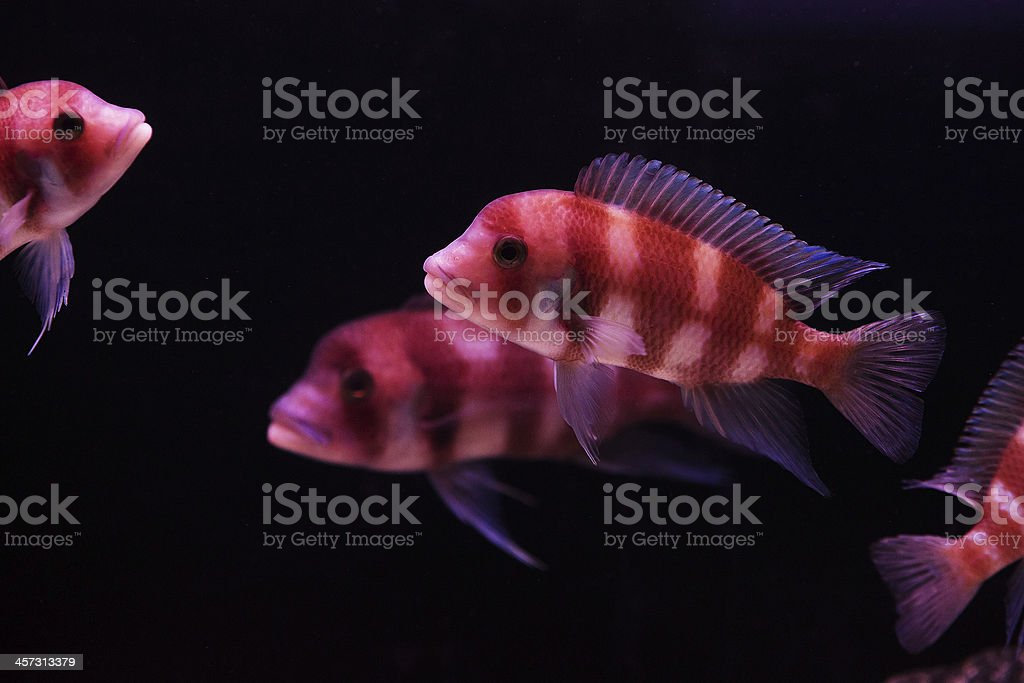 orange and blue aquarium fish stock photo