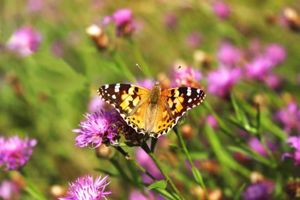 Orange and brown butterfly on pink blossom picture id1166261564?b=1&k=6&m=1166261564&s=612x612&w=0&h=hk aiuatyzunotjfbgvkecgocumx2emtcdfyiuc1iyk=