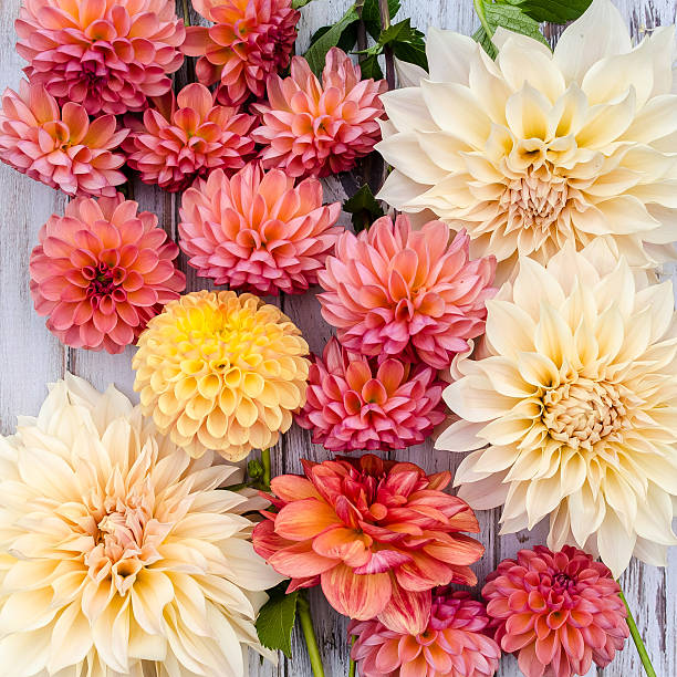 Orange et crème Dahlias, Café au lait, des boiseries - Photo