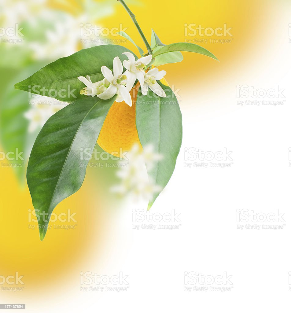 Orange and flower growing stock photo
