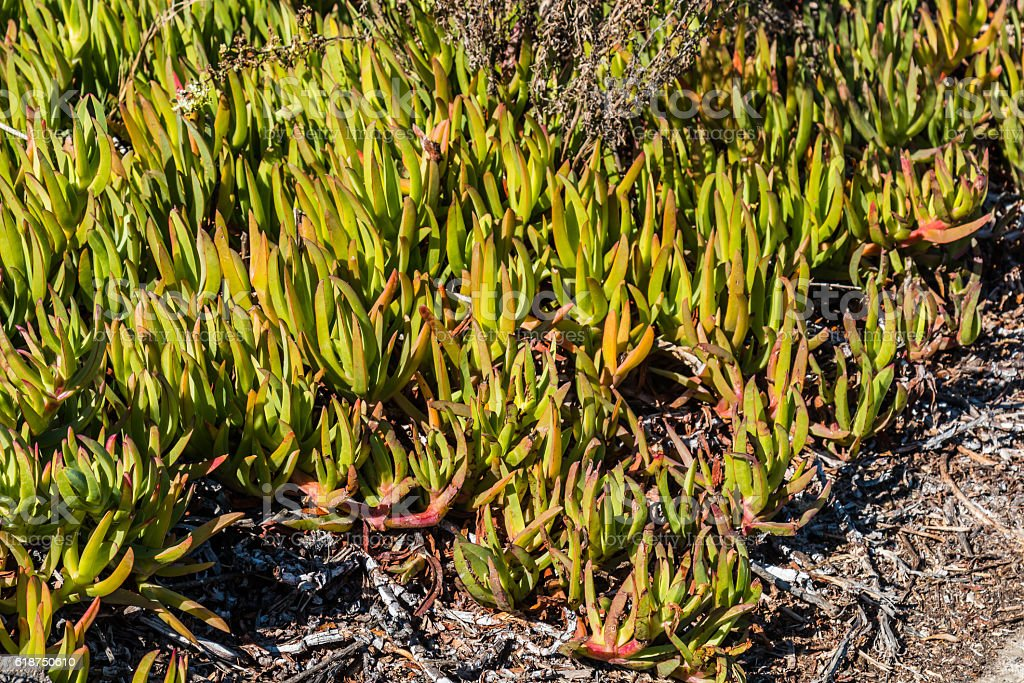 Orange and Green Ice Plant in Southern California stock photo