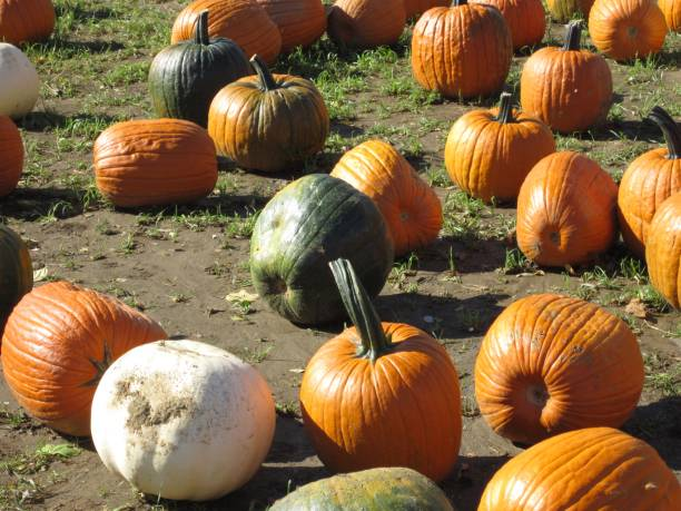 Orange and Green Pumpkins Lying in Dirt stock photo