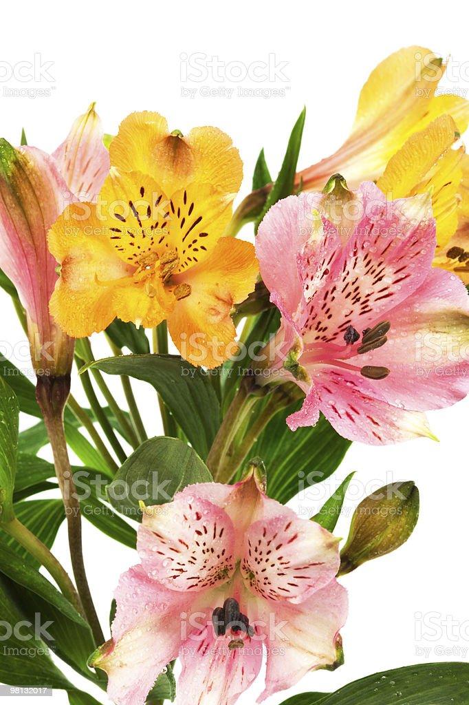 orange and pink alstroemeria royalty-free stock photo