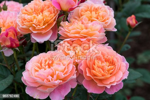 orange and pink rose blooming in the spring