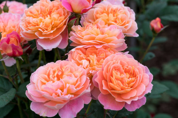 orange and pink rose blooming in the spring stock photo