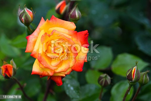 Orange and pink rose head and buttons in green blurry natural background close up. Bright blooming rose head fully open in flower garden