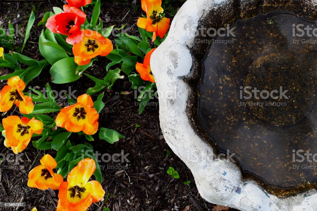Orange and pink tulips and old white rusted bird bath view from above stock photo