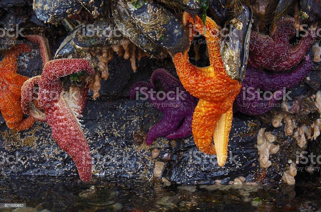 Orange and purple starfish hanging from giant mussels Lizenzfreies stock-foto