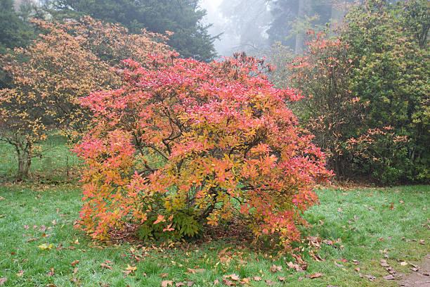 Orange und Rot Azelea im Herbst Farben – Foto
