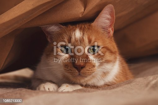 Orange and white cat hiding under the brown paper bag on the bed