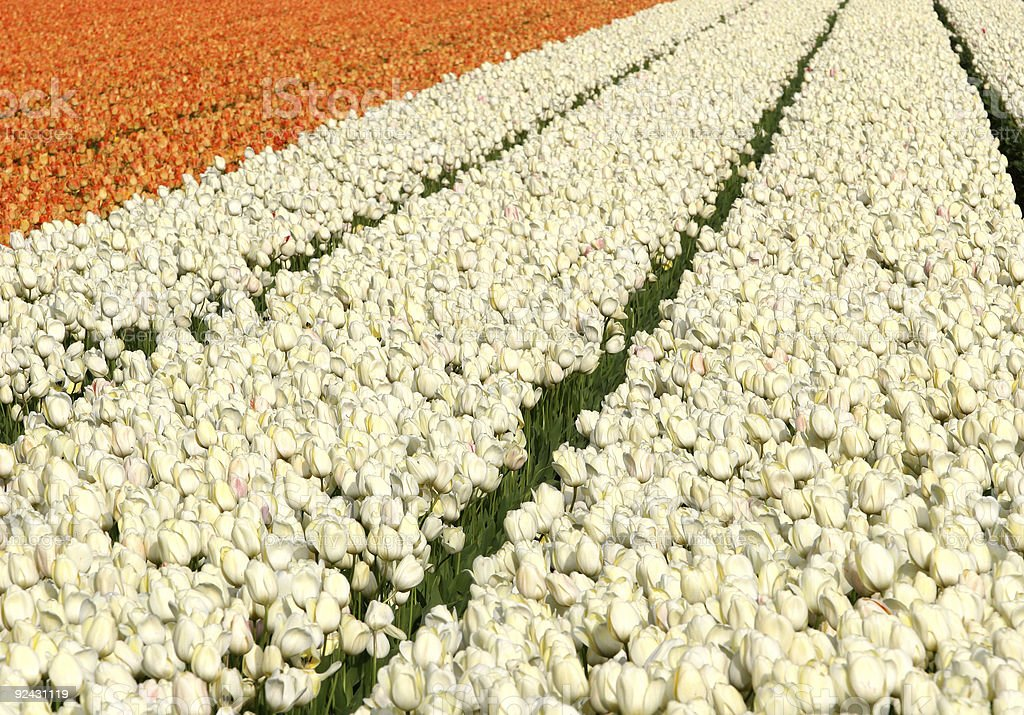 Orange and white tulip fields stock photo