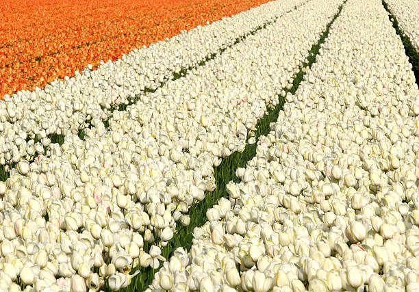orange and white tulip fields - spring stock photos and pictures