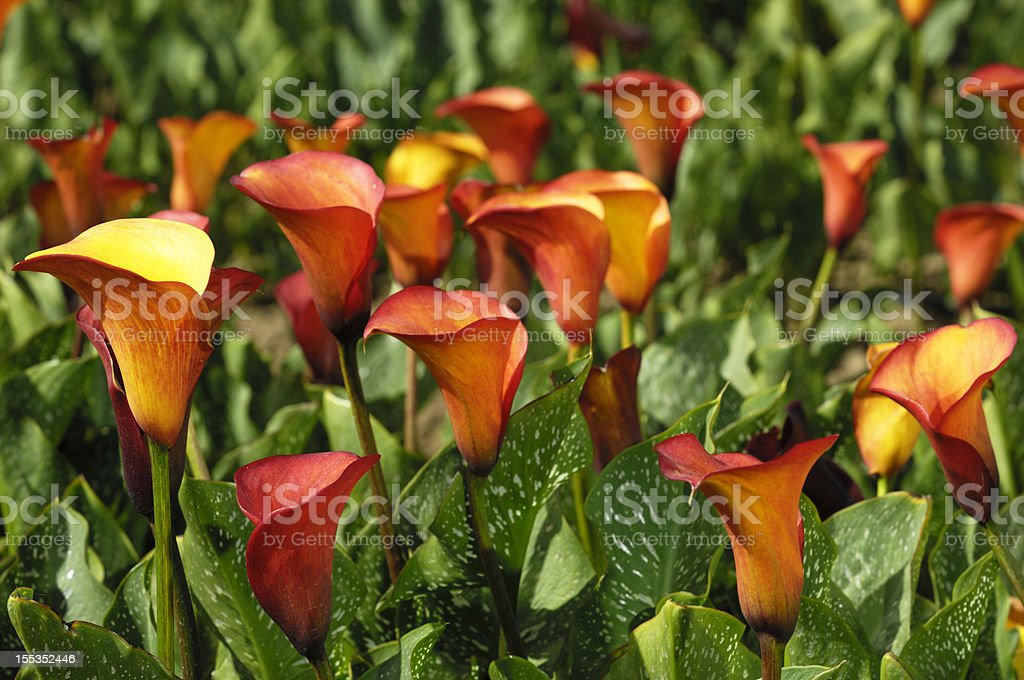 Orange and Yellow Calla Lilies stock photo