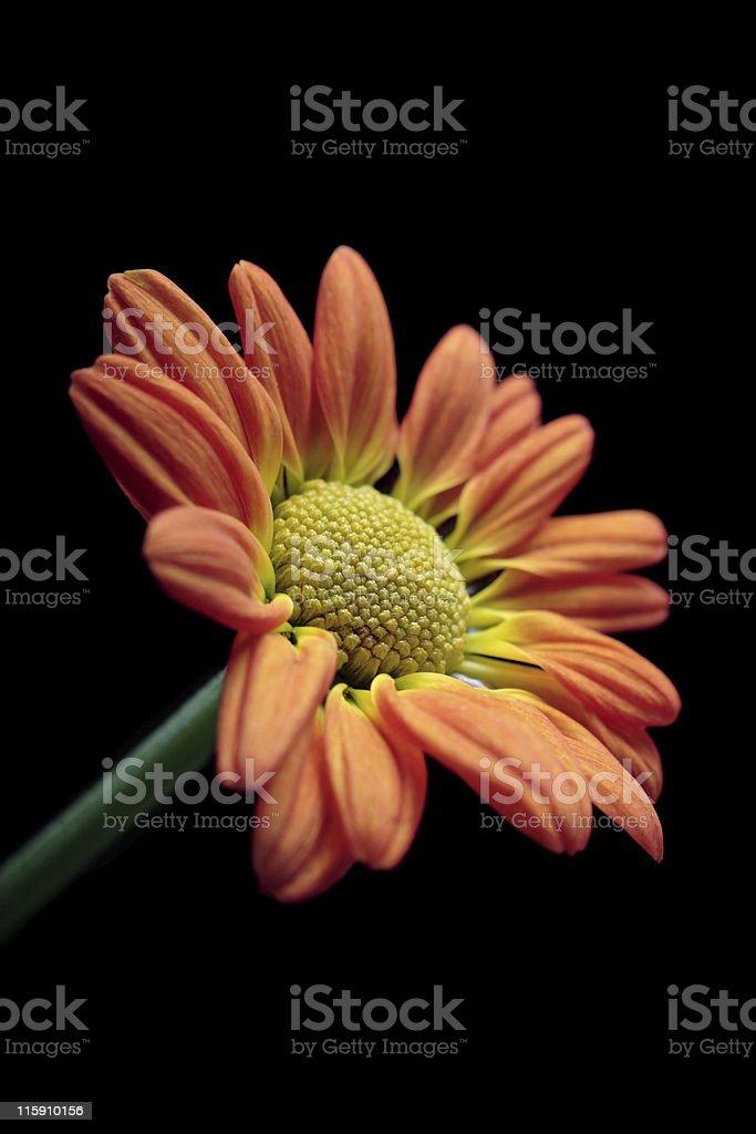orange and yellow chrysanthemum royalty-free stock photo