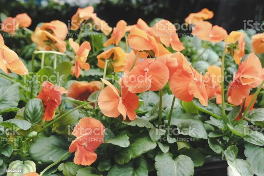 Orange And Yellow Color Naturally Beautiful Flowers In The Garden Stock Photo Download Image Now Istock,White Wall Stickers For Bedrooms