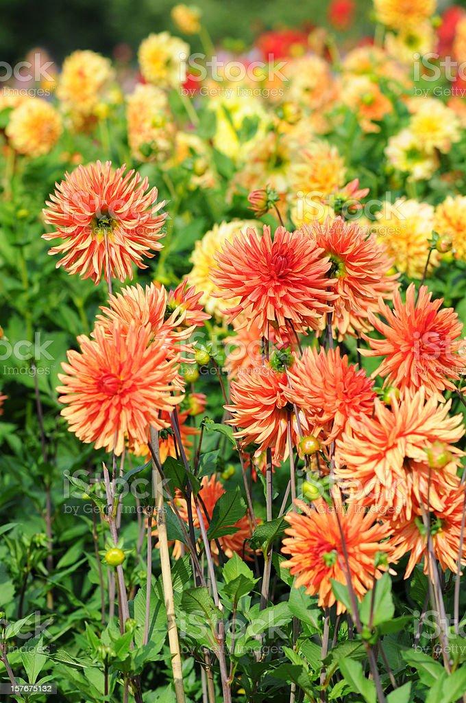 orange and yellow dahlia - Dahlien royalty-free stock photo