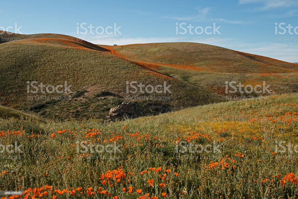 Orange and Yellow Desert Wildflowers on rolling hills stock photo