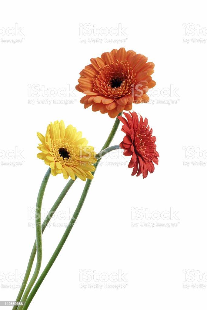 orange and yellow gerbera stock photo